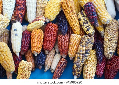 Colorful ears of dried corn at Muyu Raymi, the indigenous seed festival in Cotacachi, Ecuador