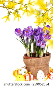 Colorful easter eggs and spring flowers  crocuses isolated on white  background. Easter background.