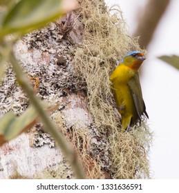 A colorful Elegant Euphonia (Euphonia elegantissima) gathers nesting material from a tree in Panama