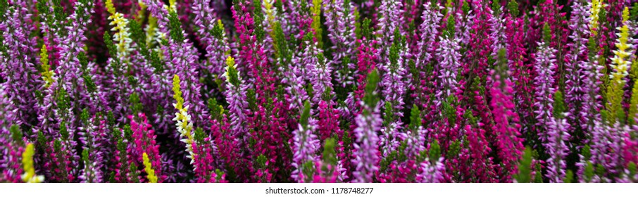 colorful erica heather arrangement in autumn for Allerheiligen (background panorama close-up shot)