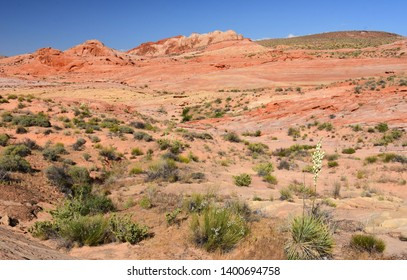 the colorful and eroded desert landscape of valley of fire state park and yucca plants in bloom, near overton, nevada