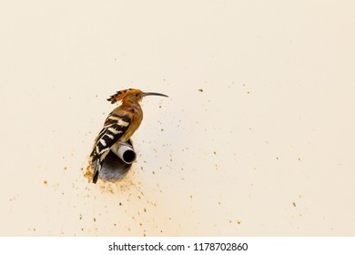 Colorful Eurasian Hoopoe bird sits on a pipe coming out of yellwo wall
