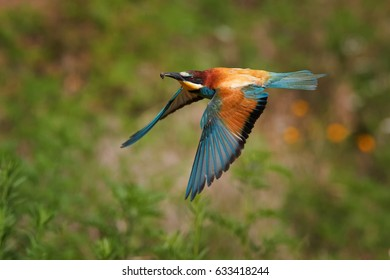Colorful  European Bee-eater, Merops apiaster, flying migratory bird with bee prey in beak against distant green summer meadow .. South Moravia, Czech republic.