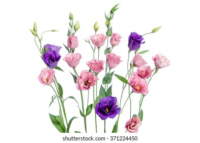 Colorful eustoma flowers on white background