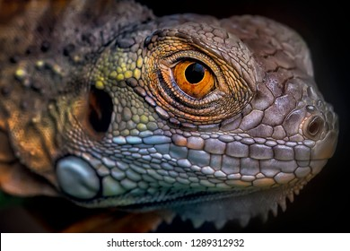Colorful Eye of Iguana 2001022 - Exotic Reptile Animal Photo Collection