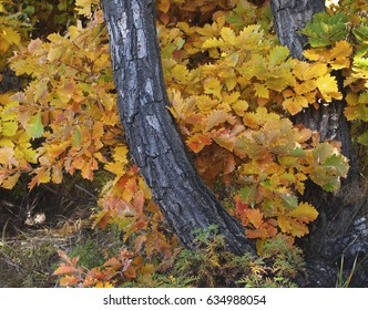 Colorful fall foliage with trunks of two Mongolian Oak trees