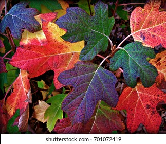 Colorful Fall Leaves of Red, Burgundy, Yellow and Green