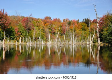 Colorful fall trees reflecting in a beaver pond