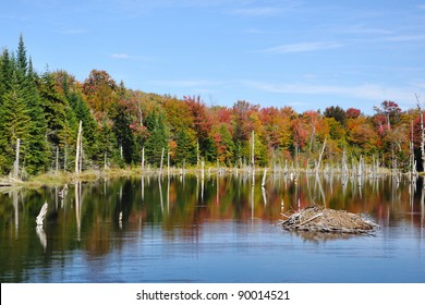 Colorful fall trees reflecting in a beaver pond with a beaver house