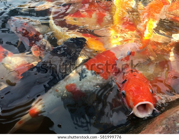 Colorful fancy carp fish background