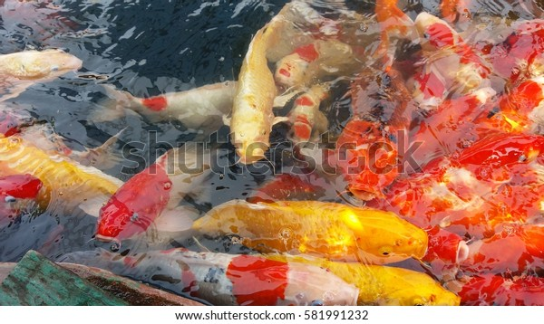 Colorful fancy carp fish background,Koi fish.