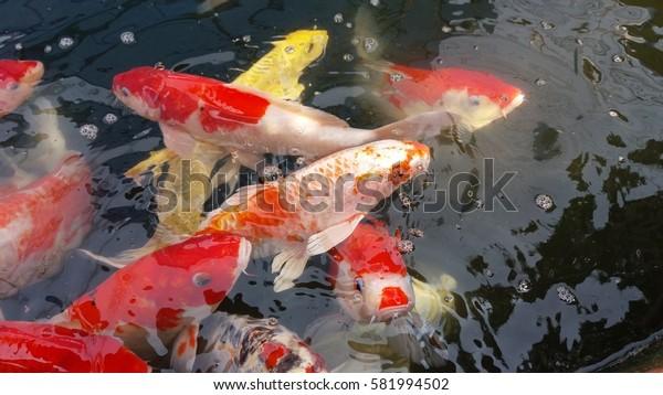 Colorful fancy carp fish background,Koi fish.