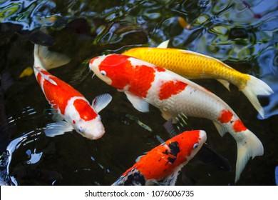 Colorful of fancy carp fish japanese(Cyprinus carpio) swimming in the pond