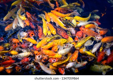 Colorful fancy carp fish, koi fish, competing for food