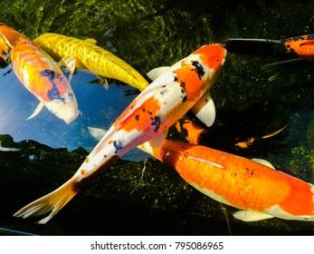 Colorful fancy carp in the koi