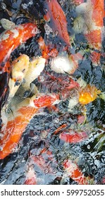 Colorful fancy carp or Mirror carp or Koi in thailand