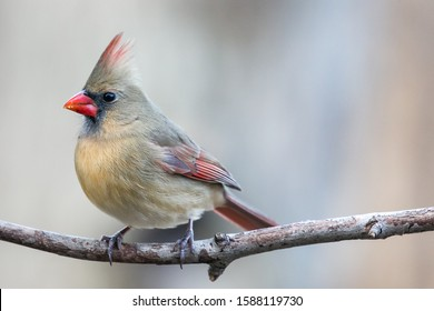 Colorful female cardinal (Cardinalis cardinalis) perched on a branch in Wisconsin with copy space