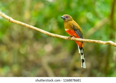 A colorful female Red-headed Trogon on the liana branch
