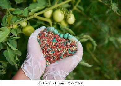 colorful fertilizer in woman hand. Blurred tomato on a background.