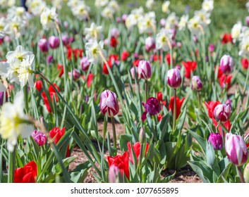colorful field of daffodils and tulips