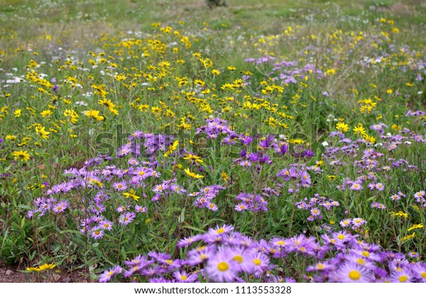 Colorful field of Rocky Mountain Wildlowers