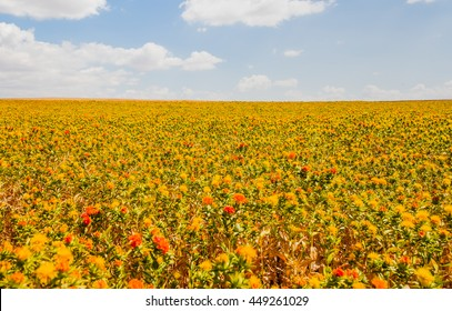 Colorful field of safflower flowers is yellow, orange, red and green