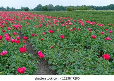 Colorful field with seasonal blossom of big pink peony roses flowers, countryside landscape, Dutch flowers