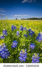 Colorful field of sunflowers and bluebonnets on a sunny spring day