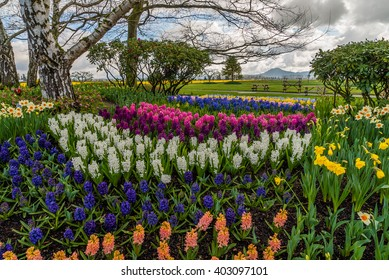 Colorful field of tulips and hyacinthus