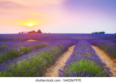 colorful fields of lavender at valensole plateau, France