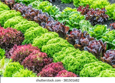 Colorful fields of lettuce, including green, red and purple varieties, grow in rows in the Salinas Valley of Central California.