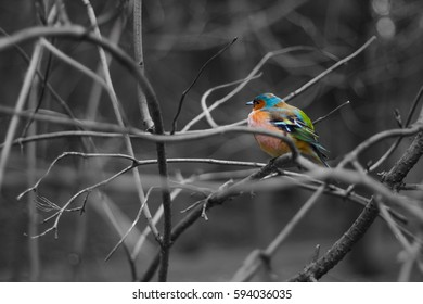 Colorful finch with black and white background