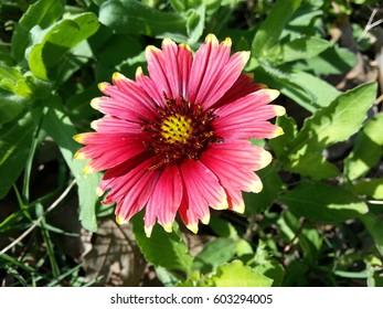 A colorful Firewheel Gallardia wildflower.