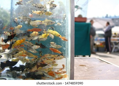 Colorful fish in aquarium ready for sale on a market