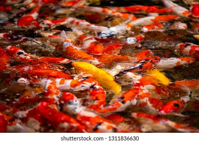 Colorful fish or carp or fancy carp, Fancy carp swimming at pond
