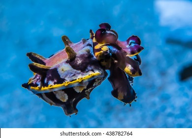 The colorful Flamboyant cuttlefish (Metasepia pfefferiis), a cephalopod, related to squid and octopus.  It has a poisonous venom, said to be as lethal as a blue-ringed octopus.