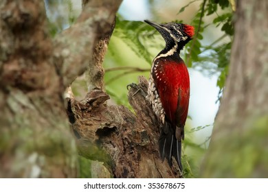 Colorful flame red woodpecker Dinopium benghalense  Black-rumped Flameback Sri Lankan red variation perched on old trunk. Old trees and forest in blurred background. Horizontal image.