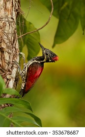 Colorful flame red woodpecker Dinopium benghalense  Black-rumped Flameback Sri Lankan red variation at work on old trunk. Sri Lanka green forest in background. Vertical image.