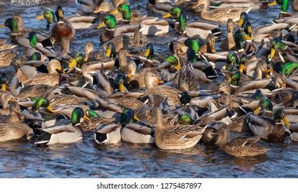 Colorful flock of Mallard ducks, both hens and drakes, up close