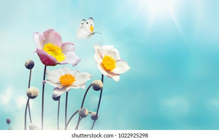 Colorful floral spring background. White and pink anemones flowers and fluttering butterfly against the blue sky, macro, free space for text.