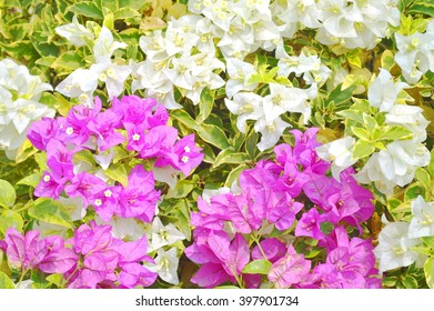 Colorful of flower, bougainvillea flower with leaf, Bougainvillea flower from Thailand