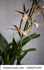 colorful flower close up of Brassia shelob tolkien, spider orchid