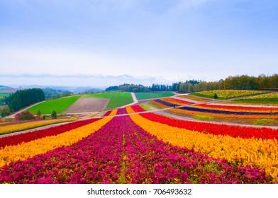 Colorful Flower field in Furano, Hokkaido, Japan