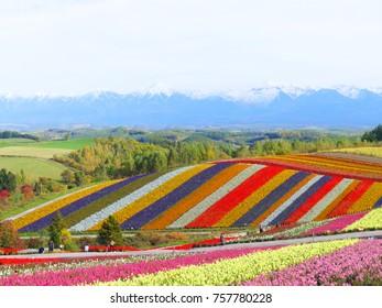 Colorful flower field with snow mountain background in Shikisai-no-oka, Biei, Hokkaido, Japan