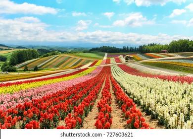 Colorful flower field in summer, Biei, Hokkaido