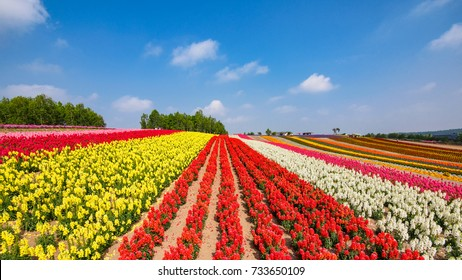 Colorful flower field in sunny day, Biei, Hokkaido, Japan.