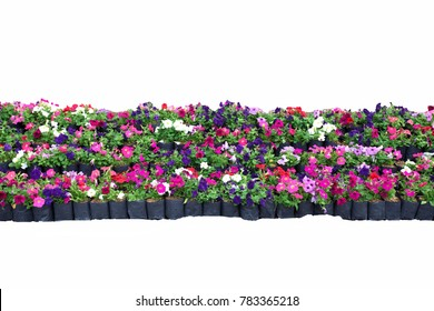 Colorful  flower  in garden isolated on white background.