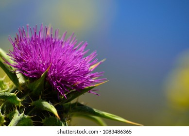 Colorful flower of great milk thistle in foreground, Silybum marianum
