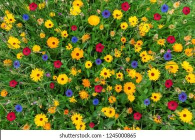 Farbige Blumenwiese im Sommer mit Blick von oben in Nahaufnahme