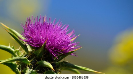 Colorful flower of milk thistle in foreground with blue and yellow background